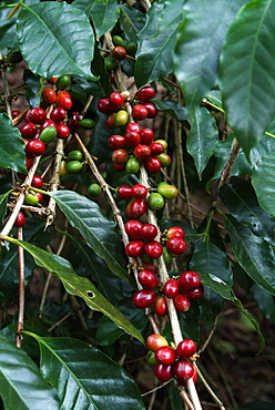 Blue Mountain coffee beans, Lime Tree Coffee Plantation, Blue Mountains, Jamaica, West Indies, Caribbean, Central America