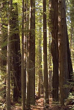 Redwoods, Humboldt County, California, United States of America, North America