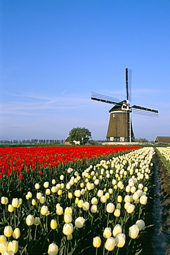 Windmill and tulip fields, Lisse, The Netherlands (Holland), Europe