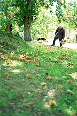 Collecting chestnuts, Casentino, Tuscany, Italy, Europe