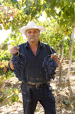 Wine maker holding grapes, Dafnes, in the mountains above Heraklion, Crete, Greek Islands, Greece, Europe