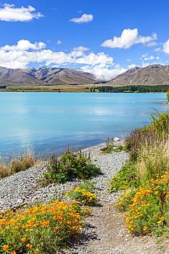 Yellow flowers by glacial Lake Tekapo, Mackenzie district, South Island, New Zealand, Pacific