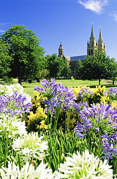 Agapanthus flowers and St. Peters Anglican Cathedral, Adelaide, South Australia, Australia