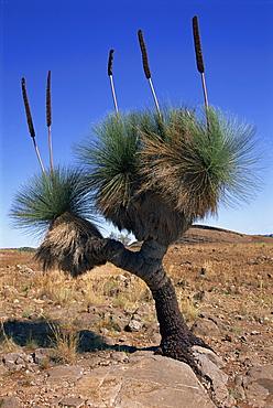 Tree-like yakka plant, Flinders Range, South Australia, Australia, Pacific