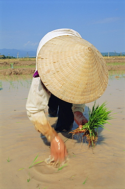 Planting rice in paddy, Muang Sing, Laos, Asia