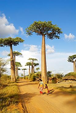 Baobab trees, Morondava, Madagascar, Africa