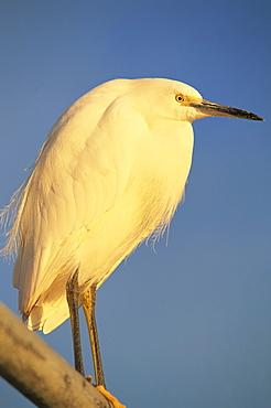 Close-up of a snowy egret bird, Santa Barbara, California, United States of America, North America