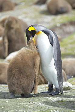 An adult King penguin (Aptenodytes patagonicus) feeding its chick, Volunteer Point, East Falkland, Falkland Islands, South Atlantic, South America
