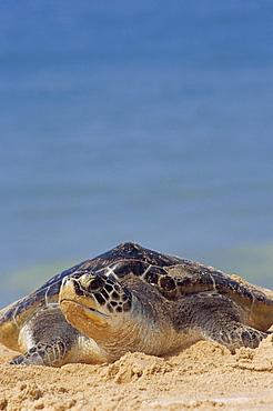 Close-up of a green sea turtle (Chelonia Mydas) coming out of the sea onto a beach, near Hat Mai Khao, Phuket Province, South Thailand, Thailand, Southeast Asia, Asia - 718-139
