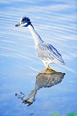 Yellow-crowned Night Heron (Nyctanassa violacea) standing in water, Sanibel Island, J. N. Ding Darling National Wildlife Refuge, Florida, United States of America, North America