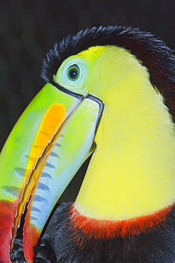 Keel-billed toucan (Ramphastos sulfuratus), Costa Rica, Central America