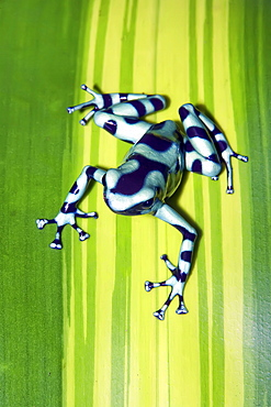 Black and green dart frog (Dendrobates auratus), Costa Rica, Central America