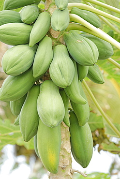 Pawpaw (papaya) (Carica papaya), Wayaseva island, Yasawa Island Group, Fiji, South Pacific islands, Pacific