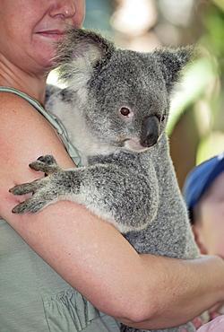 Koala hugging (Phascolarctos Cinereous), Lone Pine Koala Sanctuary, Brisbane, Queensland, Australia, Pacific