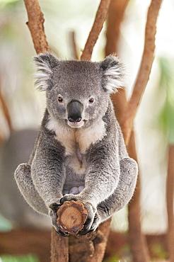 Koala (Phascolarctos Cinereous) sitting on eucalyptus tree branch, Brisbane, Queensland, Australia, Pacific