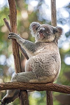 Koala (Phascolarctos Cinereous) resting in tree, Lone Pine Koala Sanctuary, Brisbane, Queensland, Australia, Pacific