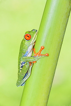 Red eyed tree frog (Agalychins callydrias) climbing green stem, Sarapiqui, Costa Rica, Central America