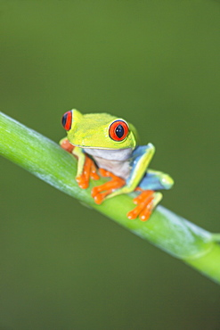 Red eyed tree frog (Agalychins callydrias) on green stem, Sarapiqui, Costa Rica, Central America