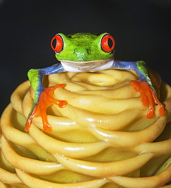 Red eyed tree frog (Agalychins callydrias) on yellow flower, Sarapiqui, Costa Rica, Central America
