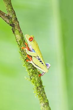 Red eyed tree frog (Agalychnis Callidryas) climbing twig, Sarapiqui, Costa Rica, Central America