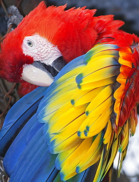Scarlet Macaw (Ara macao), Costa Rica, Central America