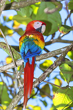Scarlet Macaw (Ara macao) perching on a tree, Corcovado National Park, Osa Peninsula, Costa Rica, Central America