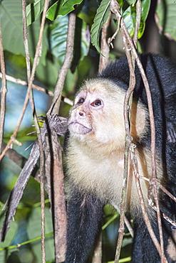White-faced capuchin monkey (Cebus capucinus) in rainforest, Manuel Antonio National Park, Puntarenas Province, Costa Rica, Central America