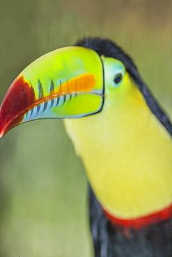 Keel-billed toucan (Ramphastos sulfuratus), Sarapiqui, Costa Rica, Central America