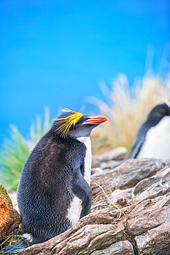 Macaroni penguin (Eudyptes chrysolophus) on a rocky islet, East Falkland, Falkland Islands,