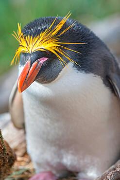 Close-up of a macaroni penguin (Eudyptes chrysolophus), East Falkland, Falkland Islands, South America