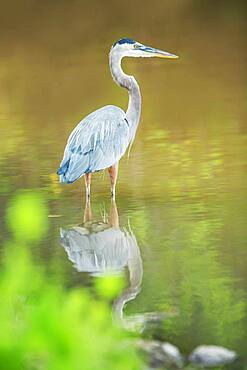 Great blue heron (Ardea herodias) looking for food, Sanibel Island, J.N. Ding Darling National Wildlife Refuge, Florida, United States of America, North America