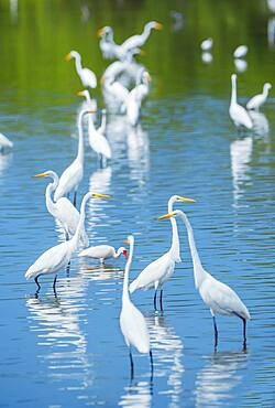 Group of Great white egrets (Ardea alba) looking for food in a pond, Sanibel Island, J.N. Ding Darling National Wildlife Refuge, Florida, United States of America, North America
