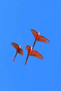 Scarlet Macaws (Ara macao) in flight, Osa Peninsula, Corcovado N.P, Costa Rica