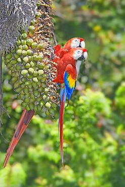 Scarlet Macaws looking in the same direction, Osa Peninsula, Corcovado National Park, Costa Rica, Central America