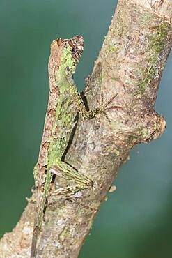 Pug-nosed anole lizard (Norops capito) camouflaged, Costa Rica, Central America