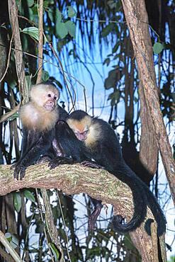 White-faced capuchin monkeys (Cebus capucinus) in rainforest, Manuel Antonio National Park, Puntarenas Province, Costa Rica.