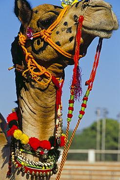 Camel adorned with colourful tassels, Bikaner Desert Festival, Rajasthan state, India, Asia