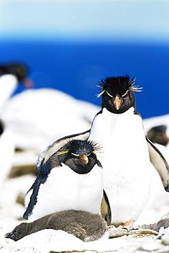 Family of rockhopper penguins (Eudyptes chrysocome chrysocome) hugging, Sea Lion Island, Falkland Islands, South Atlantic, South America