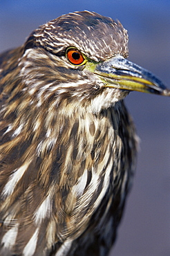 Close-up of a juvenile black-crowned night heron (Nycticorax nycticorax falklandicus), Sea Lion Island, Falkland Islands, South Atlantic, South America