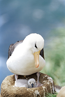 A black-browed albatross (Thalassarche melanophris) looking at its chick, Saunders Island, Falkland Islands, South Atlantic, South America