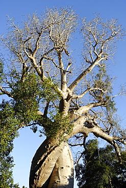 Spiral trunk of baobab tree, between Morondava and Belon'i Tsiribihina, Madagascar, Africa