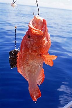 Fish hanging from hook, northeast coast, island of Praslin, Seychelles, Indian Ocean, Africa