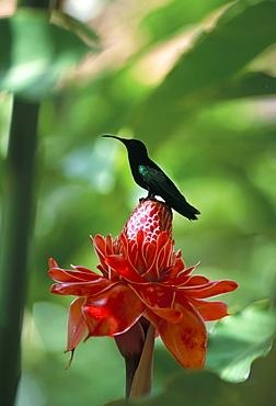 Blue headed colibri bird, Ancient Domaine Limbe, Sainte Marie Commune, Martinique, French Antilles, Caribbean, Central America