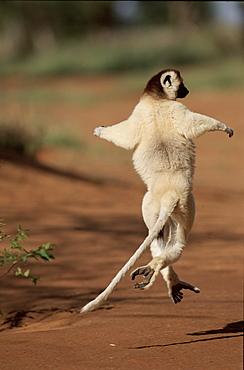 Verreaux's sifaka running, Madagascar,  Berenty Private Reserve,