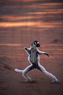 Verreaux's sifaka 'dancing' {Propithecus v, verreauxi} Berenty Reserve, Madagascar