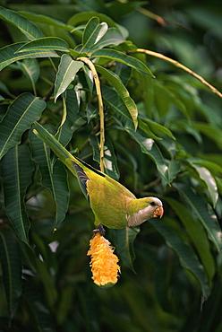 Monk parakeet {Myiopsitta monachus} feeding on mango  Pantanal, Brazil