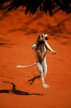 Verreaux's sifaka dancing, Madagascar, Berenty Private Reserve