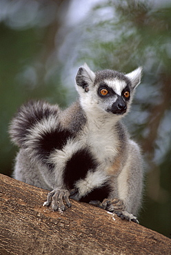Portrait of Ring tailed lemur (Lemur catta) Madagascar, Berenty Private Reserve,