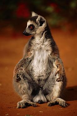 Ring tailed lemur (Lemur catta) sits on ground Berenty Private Reserve, Madagascar