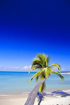 Palm tree, Antigua, West Indies